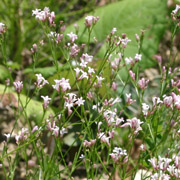 asperula.cynanchica