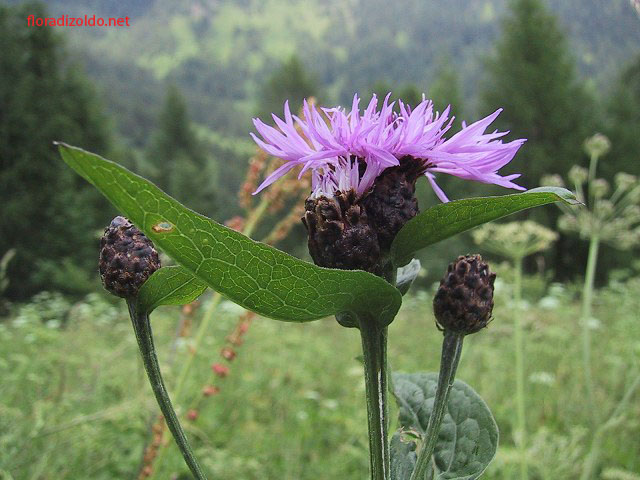 centaurea.nigrescens-b