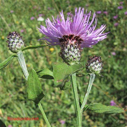 centaurea.nigrescens-e