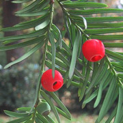 taxus.baccata